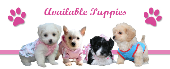 Shop available puppies